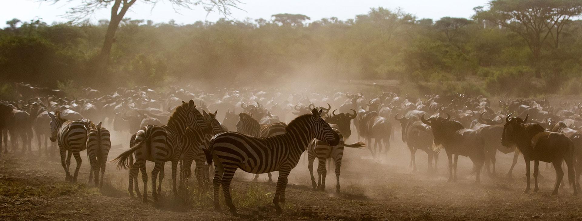 Wildebeest Calving Safari