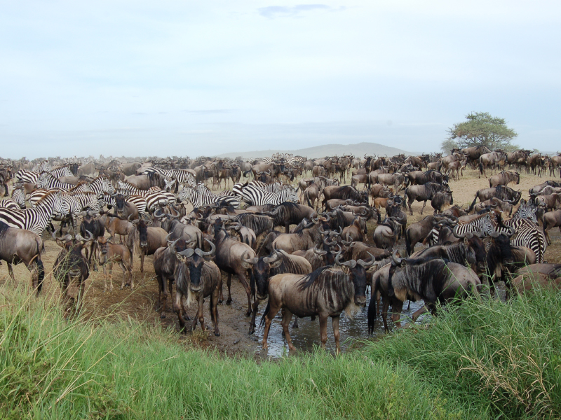Wildbeest Calving Season Safari